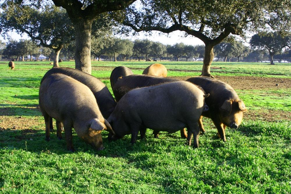 """""""El cerdo ibérico de bellota es un olivo con patas"""""""