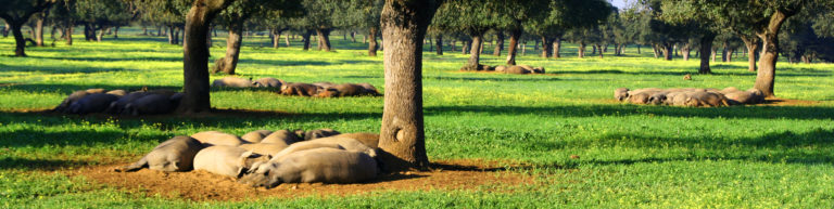 Cerdos ibéricos de bellota durmiendo